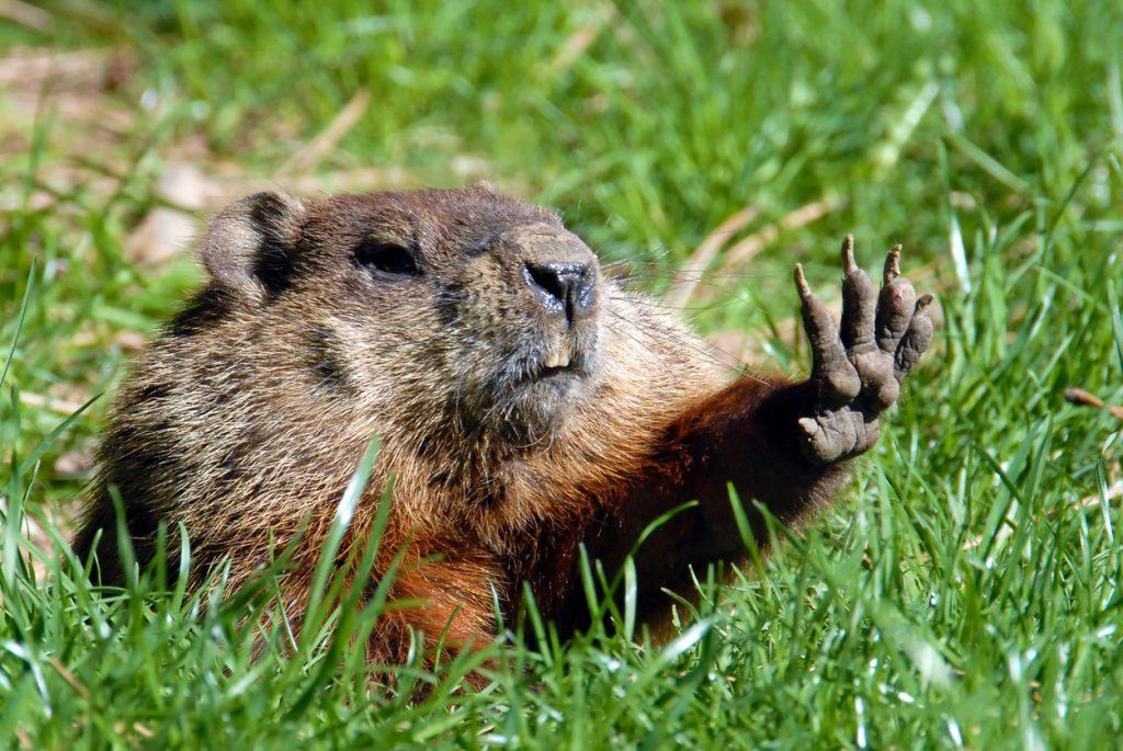 Groundhog shadow