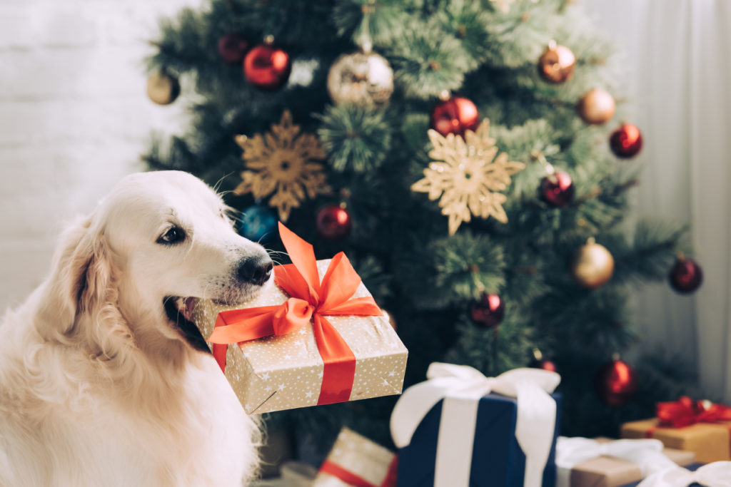 golden retriever sitting with gift box in mouth near christmas tree at home