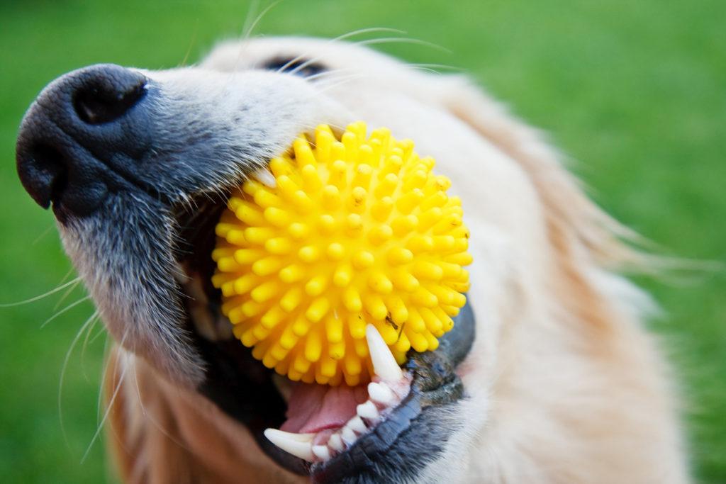 Golden retriever with yellow ball